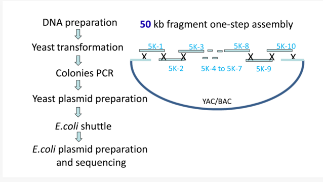 Figure 2: Large DNA Assembly in yeast. A 50kb fragment was made through one-step assembly in yeast.