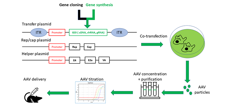 aav-gene-delivery