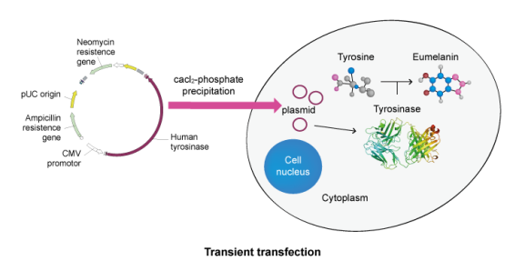 cell-transfection-process